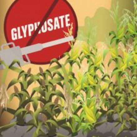 Six French academies dismiss study linking GM corn to