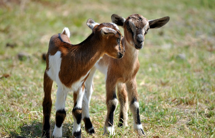 baby goats Offspring Born From GMO-Fed Goats Are Subject to Growth Abnormalities and Malnutrition