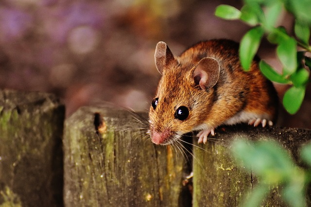 3 Easy Ways to Rid Your Home/Workplace of Rodents