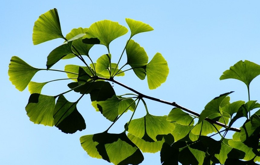 ginkgo biloba 5 Ginko Biloba Supplements for Better Health
